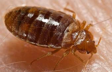 Image of a Bed Bug. A common pest control species.