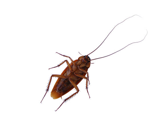 Image of a cockroach. A common pest control species.