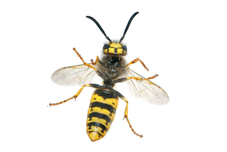 Image of a wasp. A common pest control species.