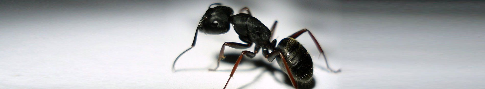 Image of a common black garden ant. A common pest control species.