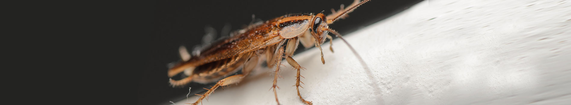 Image of a German Cockroach. A common pest control species.