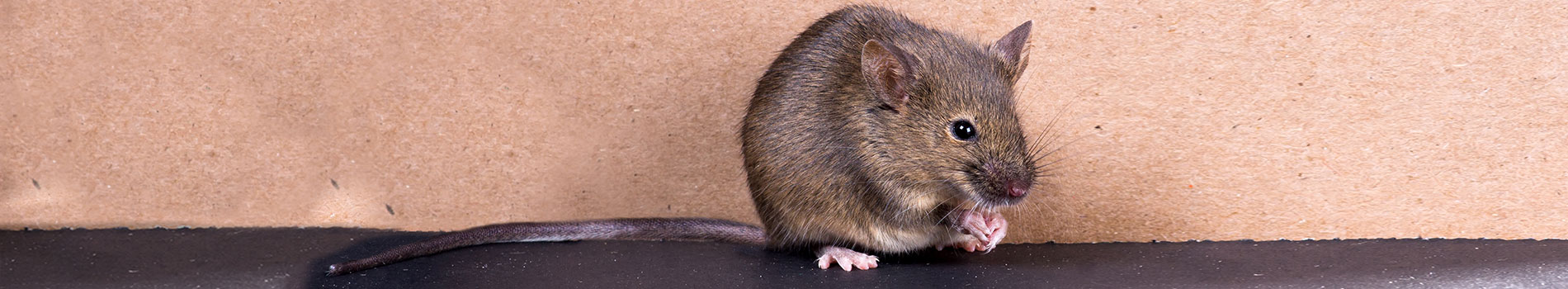 Image of a mouse. A common pest control species.