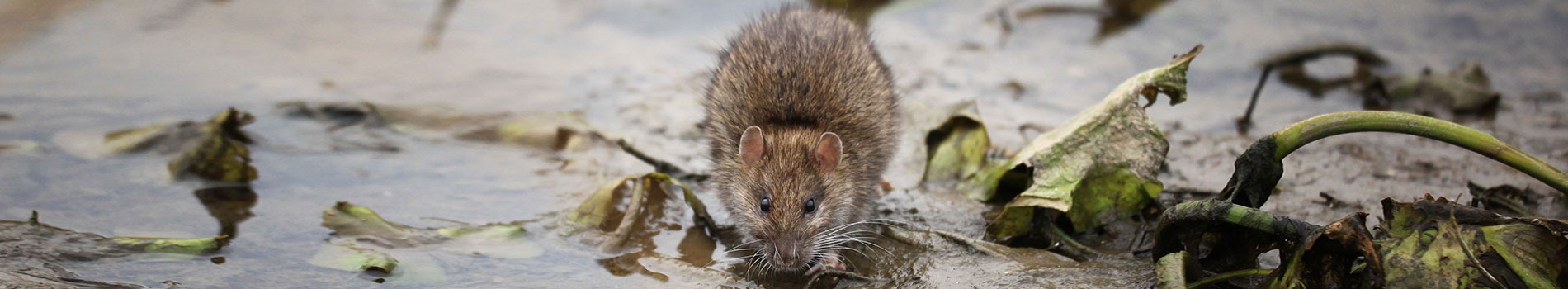 Image of a rat. A common pest control species.