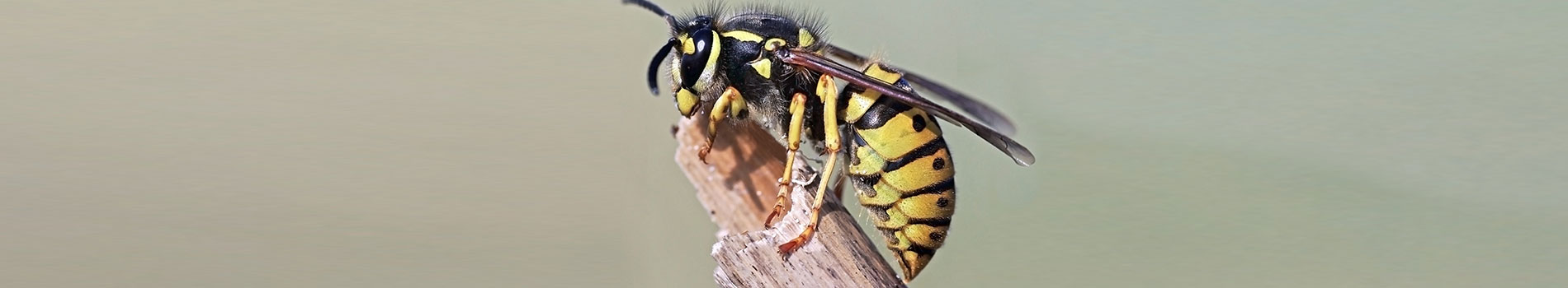 Image of a wasp. A common pest control species in the spring and summer months
